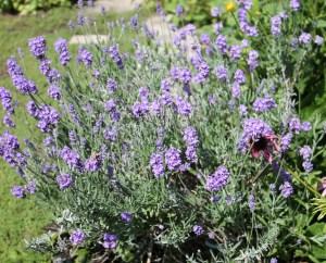 English Lavender (Lavandula angustifolia)英國薰衣草